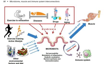 Střevní bakterie a svaly